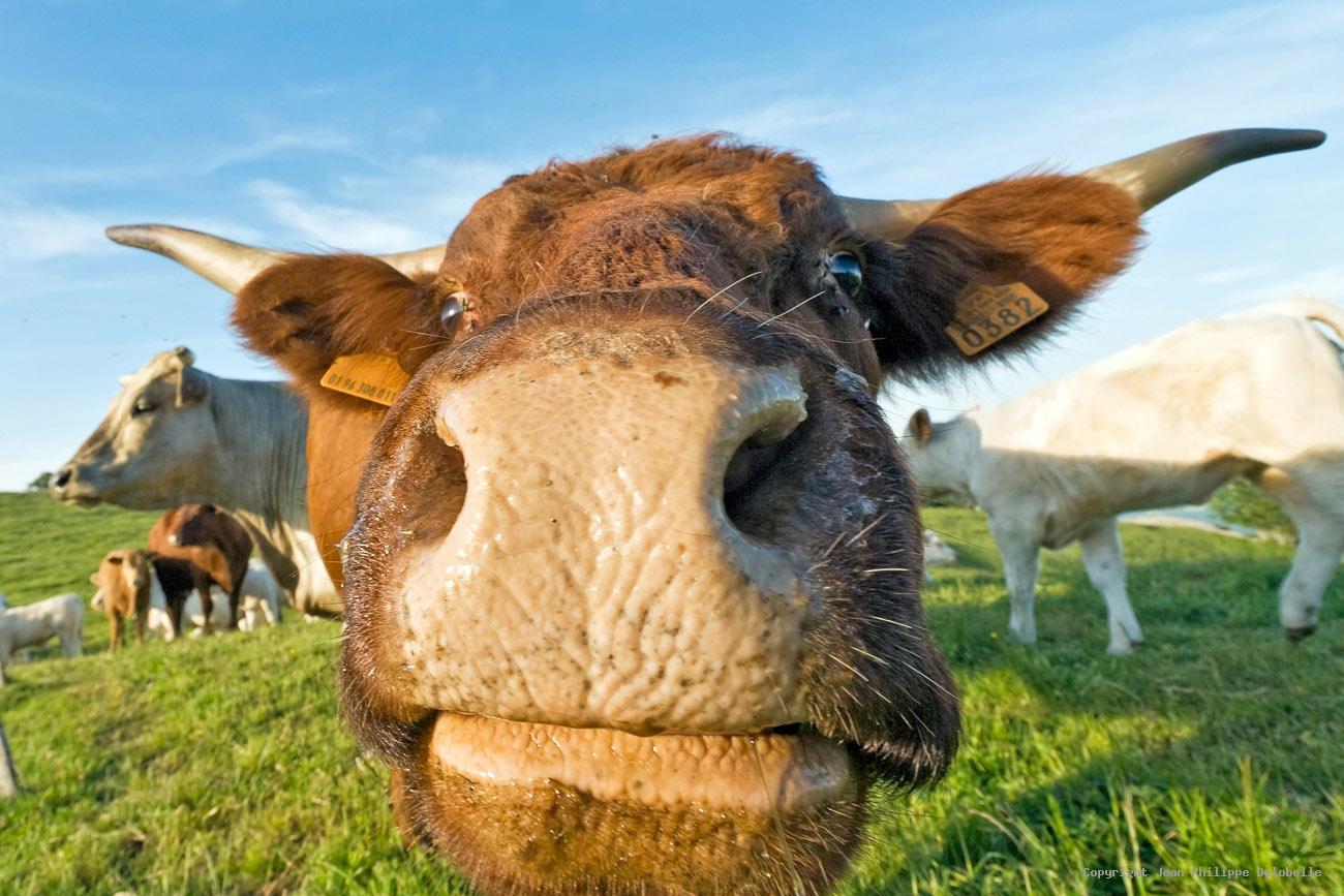 vache en gros plan